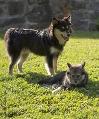 20120704_0914b (Fantasyfan.) Tags: summer green dogs grass topv111 puppy mother manna hilla tupsu vihti lapinkoira neito highqualitydogs highqualityanimals lapinmannan