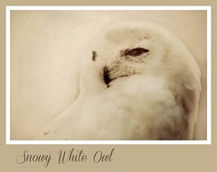 white as snow (~ Life As I See it ~) Tags: face animal sigma raptor frame capemay 500 sigma500 odc2 ourdailychallenge