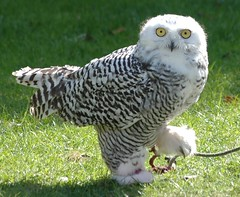 female Snowy Owl.....Aurora (Jacky4me) Tags: uk rescue bird nature female snowy wildlife centre norfolk aurora owl british hunter prey birdwatcher talons thewonderfulworldofbirds freedomtosoarlevel1birdphotosonly freedomtosoarlevel2birdphotosonly freedomtosoarlevel3birdphotosonly freedomtosoarlevel4birdphotosonly freedomtosoarlevel3birdsonly freedomtosoarlevel4birdsonly freedomtosoarlevel3birsdonly