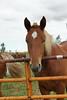 Beautiful Yearly (Roofer 1) Tags: horse belgian thor workhorse yearly blueribbonwinner sunrays5