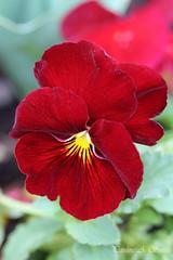'Pansy' (ppaulinesm) Tags: flowers red flower macro nature gardens canon garden flora oz pansy australia 100mm botanic dslr angiosperm 600d 100mmf28lmacro hennysgardens