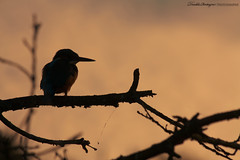 Contre jour (Descliks2bretagne PHOTOGRAPHIE) Tags: bird nature sunrise canon kingfisher oiseau contrejour tang levdesoleil 450d gueltas canonef70300mmf4056isusm martinpcheur descliks2bretagne ledilhuitnicolas branguily
