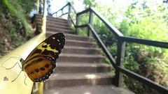 (ncaniggia) Tags: parque argentina canon butterfly falls cataratas mariposa iguazu misiones sx120is sx120