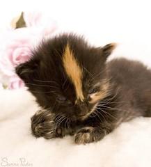 20080805_7239b (Fantasyfan.) Tags: orange pet baby black macro cute animal topv111 closeup furry kitten stripe fluffy nails fantasyfanin mytty highqualityanimals siirretty