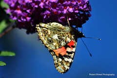 Just hanging around the garden. (robert.rinkel) Tags: ri blue autumn sky orange usa black color green fall robert nature butterfly insect island photography colorful pattern purple natural mosaic down september newport daytime winged rhode upside beatiful rinkel nikond90