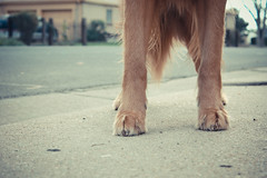 39/52 I wish I had dog feet. (RileyMai) Tags: milo paws dogpaws 52weeksfordogs goldenretrieveririshsetter