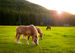 Mazama, Washington (EdBob) Tags: ranch travel trees sunset horses horse usa sun west green history tourism nature beautiful grass sunshine animal barn rural america forest fence landscape evening washington spring scenery cowboy quiet northwest outdoor dusk eating farm winthrop country scenic sunny scene historic eat pasture lensflare flare pacificnorthwest destination washingtonstate grassland westcoast grazing methow equine mazama springtime draft graze northcascades drafthorse easternwashington highway20 methowvalley northcascadeshighway ranchland pastureland edmundlowe edlowe edmundlowe blinkagain allmyphotographsarecopyrightedandallrightsreservednoneofthesephotosmaybereproducedandorusedinanyformofpublicationprintortheinternetwithoutmywrittenpermission edmundlowephotography edmundlowestudiosinc