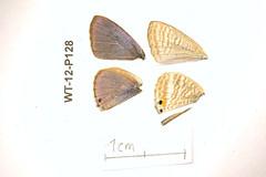 WT-12-P128 Lampides boeticus (lepdatabase) Tags: kenya lycaenidae polyommatinae polyommatini lampides boeticus