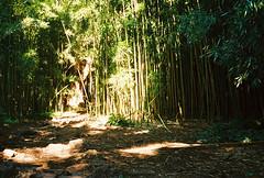 Shafts (Procrastixote) Tags: forest 35mm canon eos rebel hawaii bush g jungle hawaiian tropical tropics