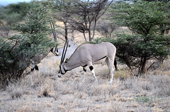 East African Oryx (John A King) Tags: kenya buffalospringsnationalreserve oryxbeisa eastafricanoryx