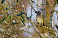 Brown Honeyeater - Lichmera indistincta (Spohr Photography) Tags: animals australia birds carseldine d7000 nikon outdoor queensland spohrphotography winter