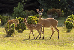 Mama Doe and Fawn 7-2016 (Angel Cher ) Tags: deer doe fawn angelcher