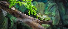 Frog (angolming@gmail.com) Tags: angolming katak kodok frog toad green pohon fauna binatang animal