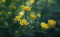 In Dappled Light (Anne Worner) Tags: bloom blossom yellow buttercup layers texture ononesoftware lensbaby sweet35 bend blur bendy selectivefocus manualfocuslens anneworner