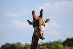 amneville-168 (cedric vis) Tags: animal girafe