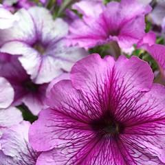 Purple (jkerssen) Tags: seattle ballard