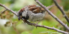 Sparrow (careth@2012) Tags: sparrow nature wildlife perched branches branch beak feathers