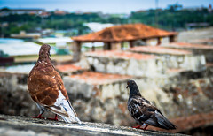 Pigeons At The Fort 2 (H.B. Sim) Tags: cartagena colombia coast southamerica castillosanfelipedebarajas fort castle old outdoor outdoors outside nikond3300 nikon d3300 depthoffield depth dof subject bird birds pigeon pigeons animal animals flyinganimals feathers