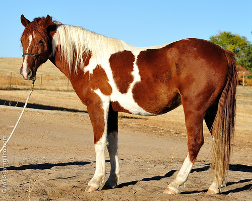 Dewi - Gaited Spotted Saddle Horse.