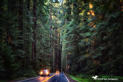 SENSE OF WONDER (Aspenbreeze) Tags: california redwoods redwoodsnationalforest californiaredwoods trees largetrees rain rainintrees cars carlights road rural outdoors nature country ocean oceanside aspenbreeze moonandbackphotography bevzuerlein