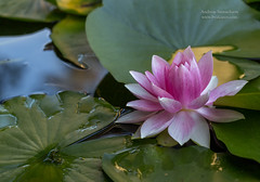 In the midst of things (Akapov Photography) Tags: 100mm alnarp amazing beautiful calm canon canon6d closeup composition flor flores flower flowers forest macro monet peaceful pink sweden tranquility water waterlillies waterlilly white
