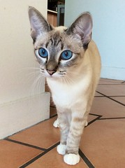 Aydin (Seal Tabby Point Siamese) (moo_baby) Tags: blueeyes aydin siamese tabbypoint sealtabbypointsiamese