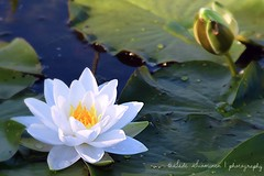 Nenfar / Water Lily (suominensde) Tags: languageofflowers flower flor white blanco water aqua bokeh nature naturaleza blooming outdoor depth field d5300 plant planta macro nikon nenfar