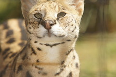 061_Great Cats Park_Serval (steveAK) Tags: greatcatsworldpark serval
