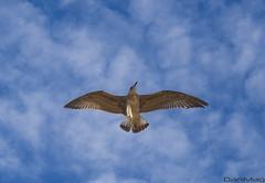 [27-08-2016]-2 (danimaqueda) Tags: seagull gaviota nikon d7100 sigma 1750 nature dslr