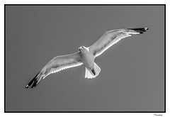 PNTI082015_318R_BYN_FLK (Valentin Andres) Tags: bw blackwhite blancoynegro byn espaa gaviota pontevedra seagull spain vigo