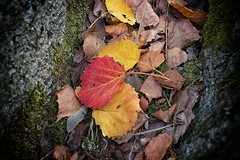 180 Autumn Leaves (Lacky Corner) Tags: autumn leaf leaves red yellow nature outdoor nikond5500 d5500