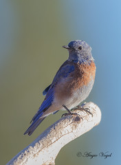 Western Bluebird (Angie Vogel Nature Photography) Tags: bluebird westernbluebird bird wildlife centraloregon fortrock cabinlake