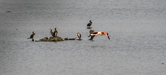 cormorants and a flamingo ad Zwilbrock Germany (a.limbeek) Tags: flamingo