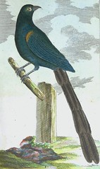 """The Gold-Green Senegalese Blackbird from Buffon's """"The Natural History of Birds."""" Volume 9: """"Exotic Birds."""" 1790. German edition (lhboudreau) Tags: vintage book books hardcover hardcovers hardcoverbook hardcoverbooks illustratedbook illustratedbooks bookart illustration illustrations drawing drawings engraving engravings etching etchings lithograph lithography print prints coloredprint coloredprints handcolored handcoloredprints handcoloredlithography handcolor 18thcentury eighteenthcentury lithographs classicillustration art artprint artprints antique antiquarian coloredengraving coloredengravings ninthvolume handcoloredengraving handcoloredengravings buffon countbuffon thenaturalhistoryofbirds contedebuffon buffonsnaturalhistoryofbirds birds ornithology exoticbirds 1790 germanedition vienna volume9 naturalhistoryofbirds naturalhistory blackbird bird senegalese goldgreen longtail longtailfeathers comtedebuffon leclerc georgeslouisleclerc naturalist histoirenaturelle"""