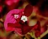 Douglas Preserve Bougainvillea (Debbie Ashcraft) Tags: beginnerdigitalphotographychallengewinner douglaspreserveflowers red santabarbara california pistil flower bougainvillea