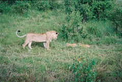 Mum with two Babies ! (Mara 1) Tags: africa kenya masai mara wildlife lions outdoors cubs wild tail legs subadult