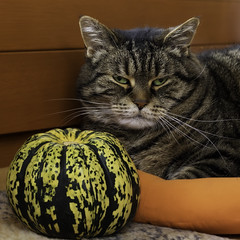 Oh yeah, I have always wanted a pumpkin for my cat bed ! (FocusPocus Photography) Tags: cleo katze cat chat gato tier haustier pet tabby feline krbis pumpkin notimpressed unbeeindruckt