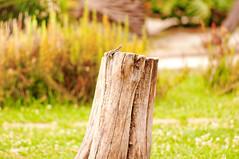 villa bruno - 0004 - 2009.07.05 (PiE81) Tags: 2009pie generalviews sangiorgioacremano campania italia lizard lucertola green natura nature villa bruno tronco legno albero tree wood stump ceppo
