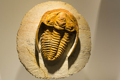 It Had to be Done (gendarme02) Tags: fossil paleontology trilobite hmns houstonmuseumofnaturalscience houston texas old