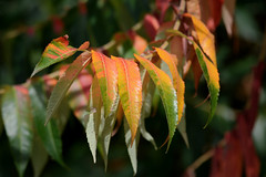 autunno () Tags: rhus typhina foglie leaves colori colors autunno autumn sommaco americano staghorn sumac