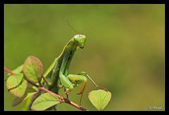 Mantis religiosa 12 (jo.pensel) Tags: bretagne breizh brittany biodiversit finistre france faunedebretagne nature naturebretagne photographebretagne photobretagne imagenature jopensel jocelynpensel jopenselcom jocelynpenselphotographe pensel macrophotographie macro proxyphotographie sigma105mmmacro mantes mantis mantisreligiosa mante religieuse insecte bugg enthomologie