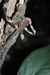 Imantodes cenando (berenicematap) Tags: food imantodes anolis serpiente lagarto reptil mxico palenque chiapas biodiversidad biodiversity fauna