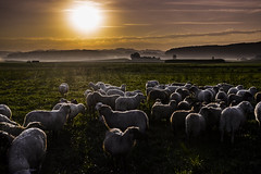 Sonnenaufgang auf der Weide (Thomas Neuhaus) Tags: weide sonnenaufgang oberaargau schafe wald hgel wiese