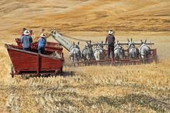 Wheat Harvest (Missi Gregorius) Tags: outdoors farm wheat harvest mules colfax labordaypalouseempirethreshingbee