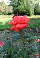 Roses - Hybrid tea rose 'Elle' - Rosaceae SC20120826 303 (fotoproze) Tags: roses canada rose quebec montreal rosen gl rosas rozen 2012 roser    rosor mawar jardinbotaniquedemontral rsir re re  montrealbotanicalgardens trandafiri arrosak ruusut hoahng       rue    rzsk queenrose vrtnice ris  rhosynnau