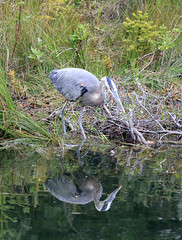 Great Blue Heron Fishing. (K Fletcher) Tags: blue canada calgary bird heron fishing great alberta