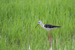 Black-winged Stilt () (yannick_willener) Tags: birds uccelli vgel cavaliereditalia himantopushimantopus blackwingedstilt recurvirostridae cigeuelacomn stelzenlufer   chasseblanche pitkjalka thaibirds styltlpare bandsteltkluut pernilongodecostasnegras szczudak  styltelper hleggur iilabocianovit thailand2012 australskstyltelber pisilaponoh