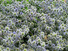Eryngium, Longwood Gardens, Summer Flowers IMG_3368 (Roy and Dolores Kelley Photographs) Tags: flowers gardens pennsylvania pa longwoodgardens eryngium summerflowers kennettsquare
