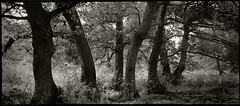 Seven Sisters in Conversation? (Regular Rod) Tags: light blackandwhite panorama 120 film nature monochrome found holga woods day derbyshire peakdistrict crowds bakewell rewind ilfordfp4 naturesfinest alders 6x12 dixactol holgaheads citrit ysplix advance2 theunforgettablepictures theperfectphotographer natureselegantshots advance1 rewind2 advance6 advance3 rewind3 advance4 rewind4 advance5 rewind5 advancedbythedevelopingtank advance7 holgagon