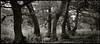 Seven Sisters in Conversation? (Regular Rod) Tags: light blackandwhite panorama 120 film nature monochrome found holga woods day derbyshire peakdistrict crowds bakewell rewind ilfordfp4 naturesfinest alders 6x12 dixactol holgaheads citrit ysplix advance2 theunforgettablepictures theperfectphotographer natureselegantshots advance1 rewind2 advance6 advance3 rewind3 advance4 rewind4 advance5 rewind5 advancedbythedevelopingtank advance7 holgagon